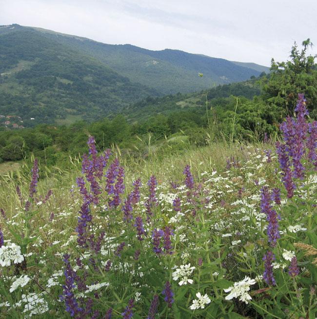 gorski-bosilek