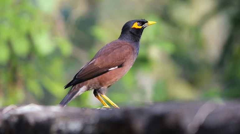 Common Myna, Indian Myna, Mynah, Kerala Birds, Birds of Kerala, മൈന