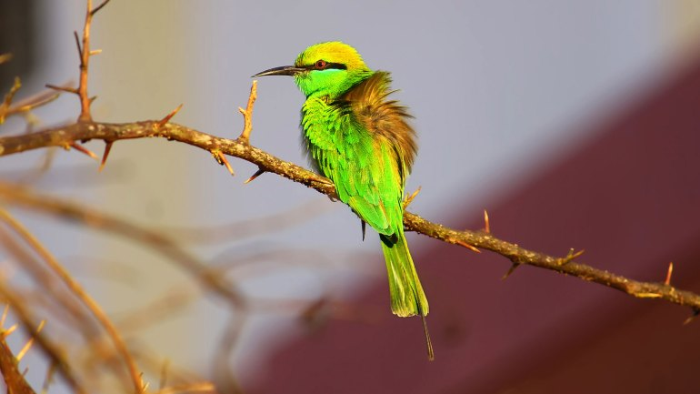 Green Bee eater, Merops orientalis, Little Green Bee eater, Kerala Birds, Birds of Kerala, നാട്ടുവേലിത്തത്ത