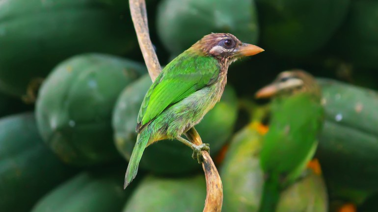 White Cheeked Barbet, Chinnakkutturuvan, Birds of Kerala, Kerala Birds, Indian Birds, Indian Wildlife, ചിന്നക്കുട്ടുറുവൻ