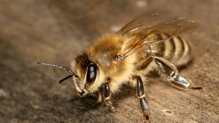 Машинное зрение поможет пчеловодам в борьбе с опасными клещами, паразитирующими на пчелах