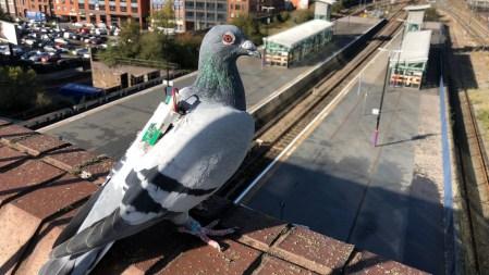 Британские инженеры задействуют голубей для сбора климатических данных