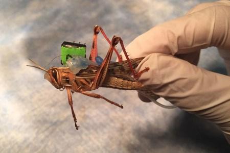 Американские ученые пытаются превратить саранчу в киборгов-саперов