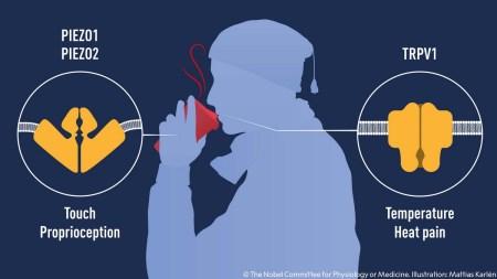 Нобелевскую премию по физиологии присудили за открытие рецепторов температуры и оcязания