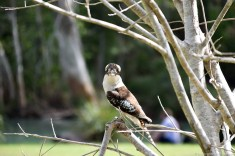 A Curious Kookaburra