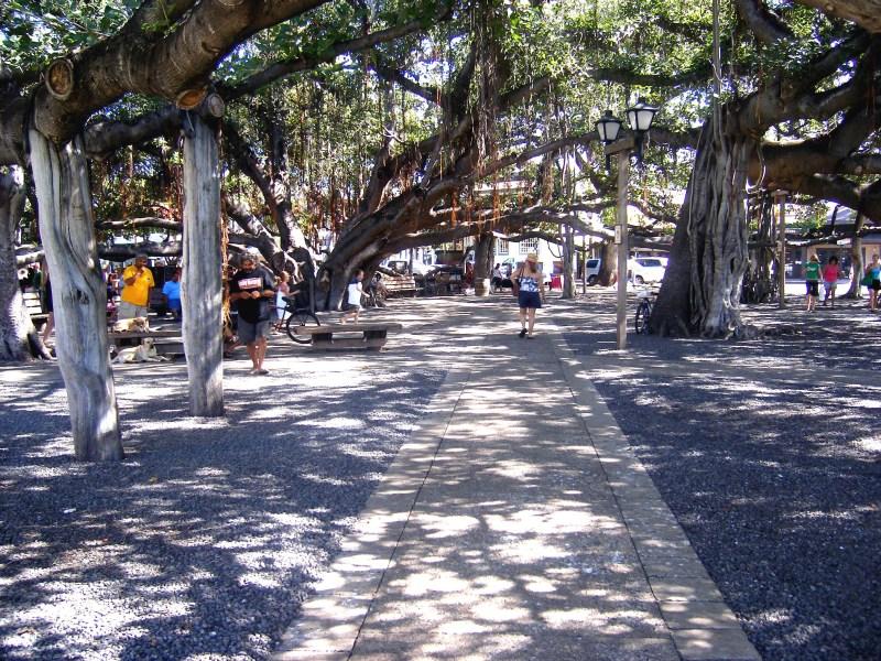 Ban yang tree