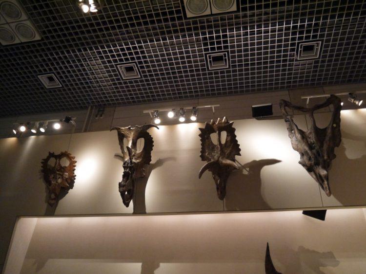 角竜の頭蓋骨