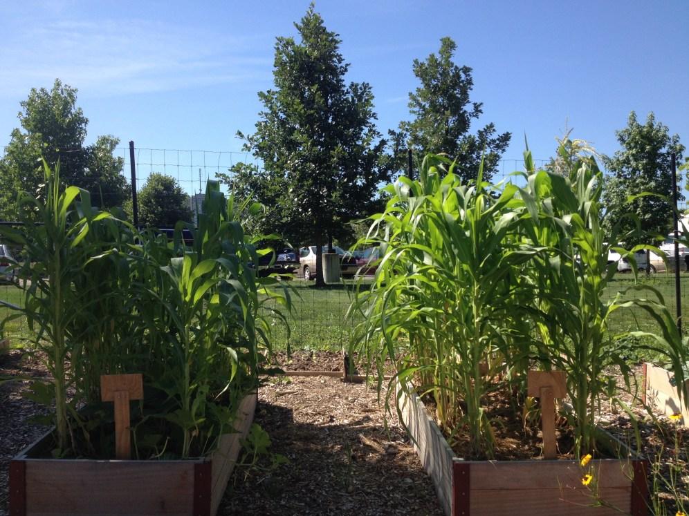 Corn 8.11.16