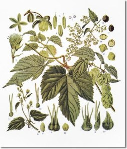 Hops botanical drawing