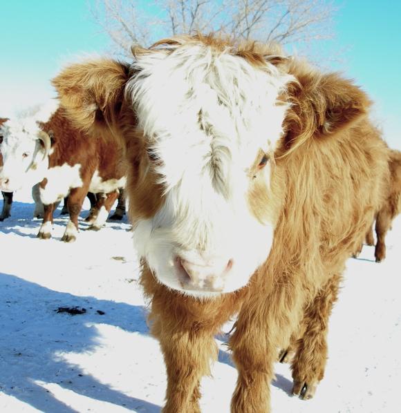 calf4.jpg