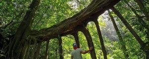Climbing the Ficus Tree / Strangler Fig in Monteverde