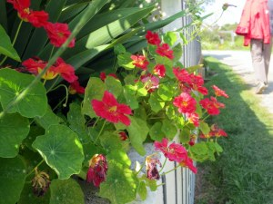 Trailing Geraniums
