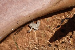 Canyon Tree Frog, Zion