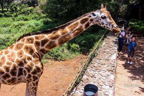 a giraffe seen from the observation deck