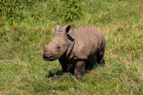 Curious bay rhino in Lake Nakuru