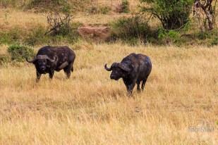 2 buffaloes in Masai Mara, Kenya