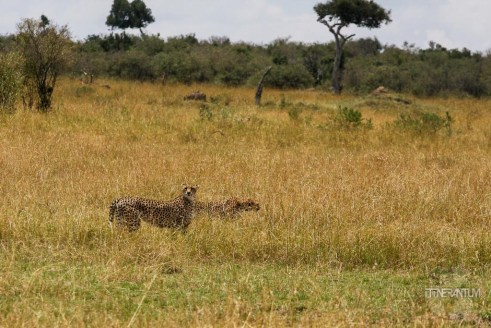 two cheetahs preparing to hunt in masai Mara