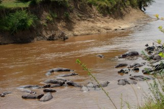 a large group of hippos in the Mara River
