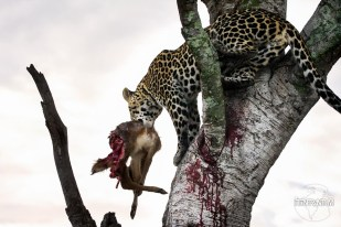 a leopard with a half eaten antelope in a tree