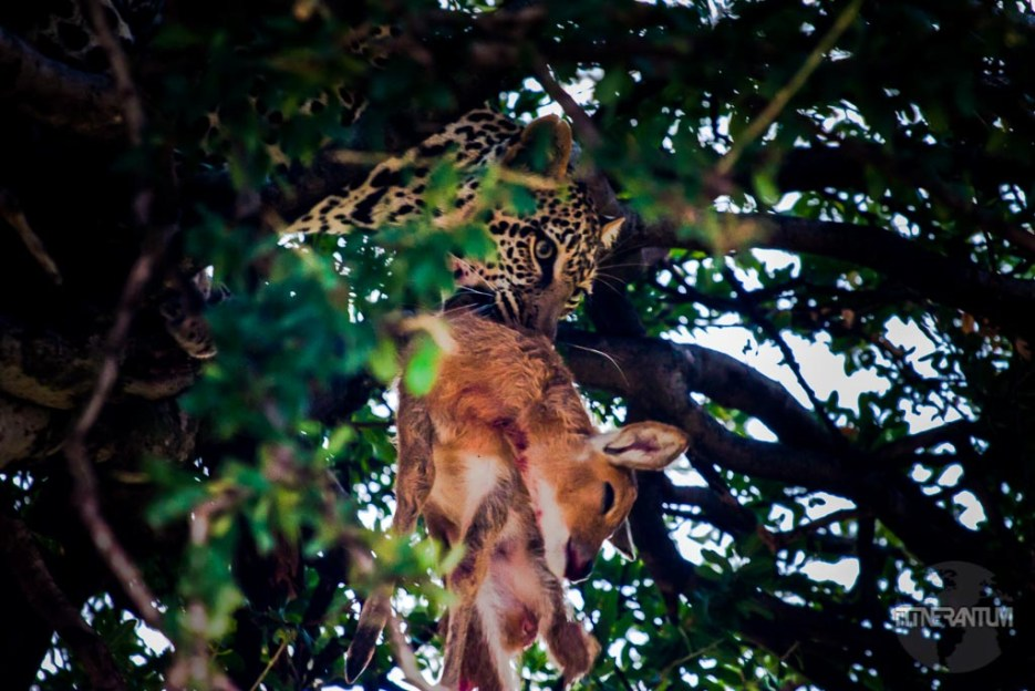 Leopard in the tree with antelope in a safari
