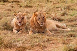 a lion couple posing for tourists in a safari in Masai Mara