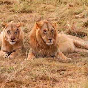 a lion couple posing for tourists in a safari in Masai Mara