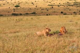 Lions in the fields on the Masai Mara safari