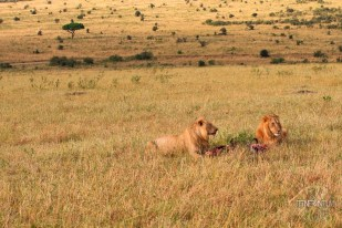 Lions in the fields on the Masai Mara safari