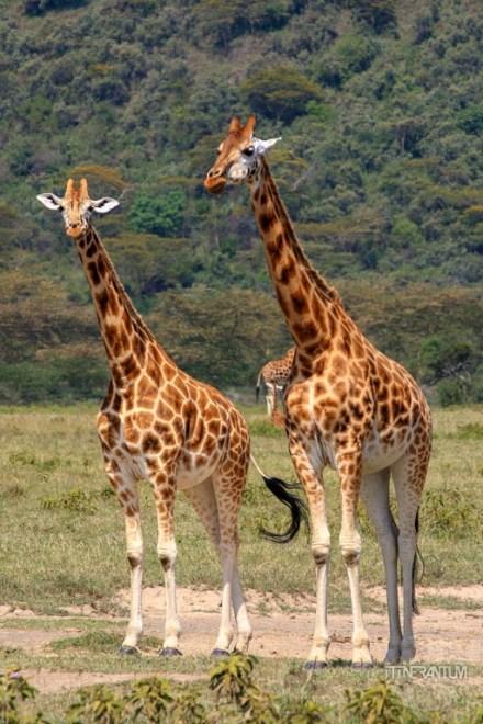 Nakuru safari Giraffe Pair