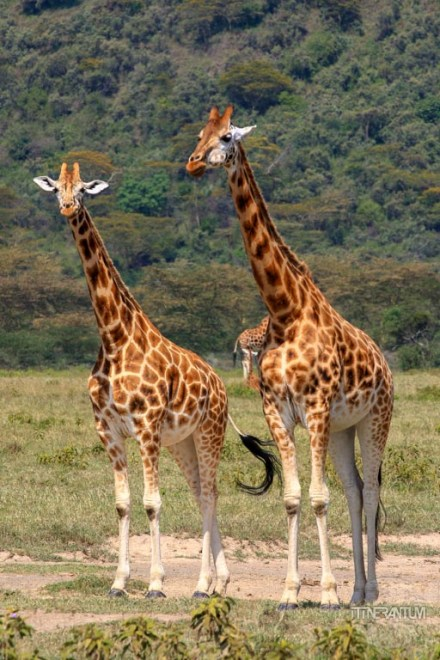Nakuru safari Giraffe Pair
