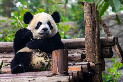 Panda with it's bamboo branch