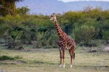 giraffe in a Masai Mara safari