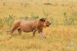 a lion walking the plains of Masai Mara
