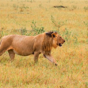 a lion walking the plains of Masai Mara