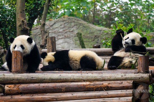 three pandas together atChengdu Panda Research Center