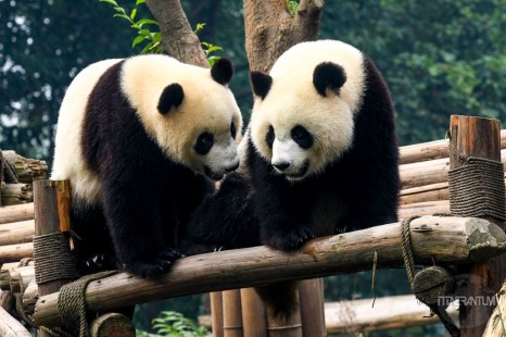 Two pandas together