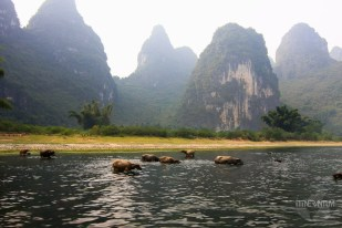 Water buffaloes on met on the Li River cruise