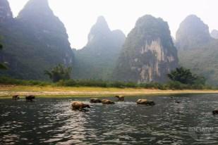 Water buffaloes on met on the Li River cruise