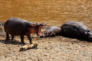 three hippos resting on the bank of Mara River in Kenya