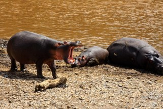 three hippos resting on the bank of Mara River in Kenya