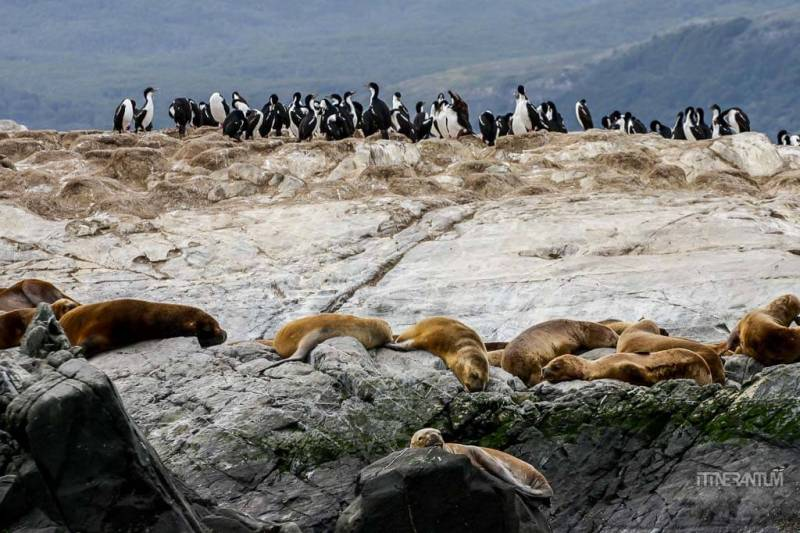 Sea lions and cormorants sharing the same rock on Beagle Channel, Patagonia