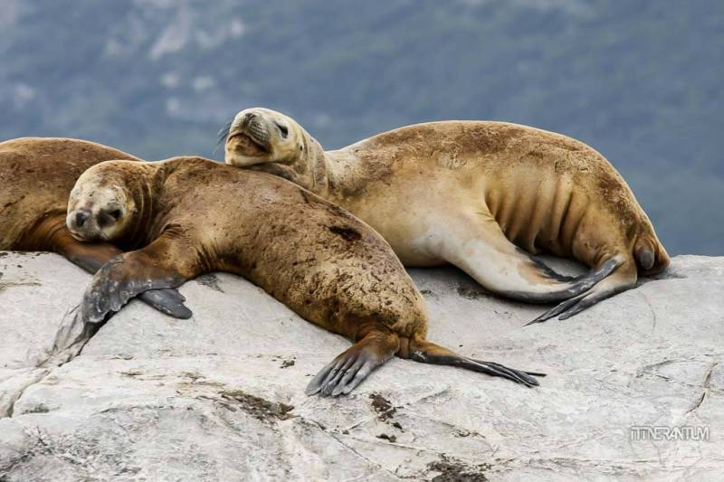Beagle-channel-patagonia-sea-lion (3)