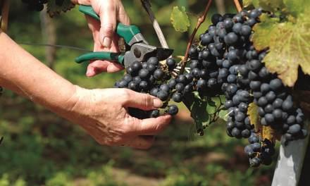 In the wine dark sea: Tο ντοκιμαντέρ για το κρητικό κρασί αναδεικνύει τον κρητικό αμπελώνα
