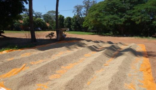 稲の収穫と長老の話@ゆば農場 , Mirandópolis , Brazil