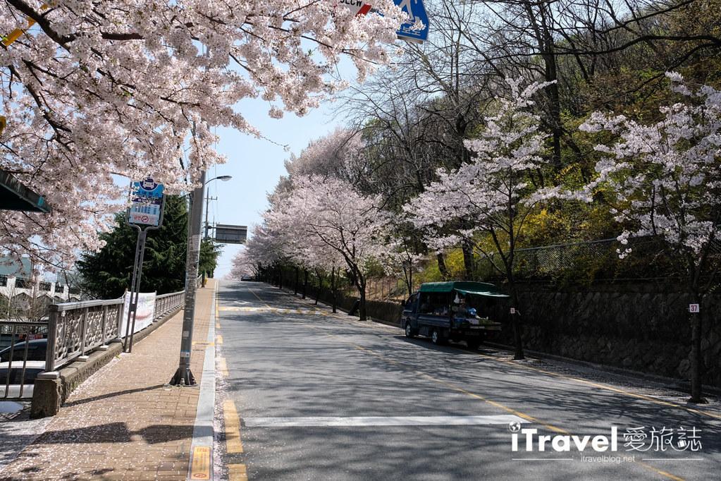 釜山賞櫻景點 東大新洞望洋路 (54)