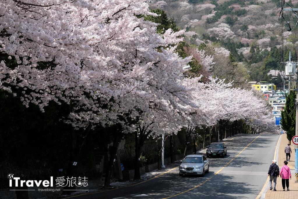 釜山賞櫻景點 東大新洞望洋路 (68)