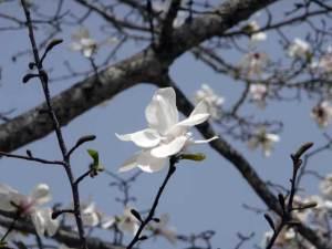 コブシの花が下を向くと雨の多い年になる
