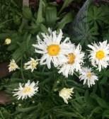 Shasta daisys w/ fringe