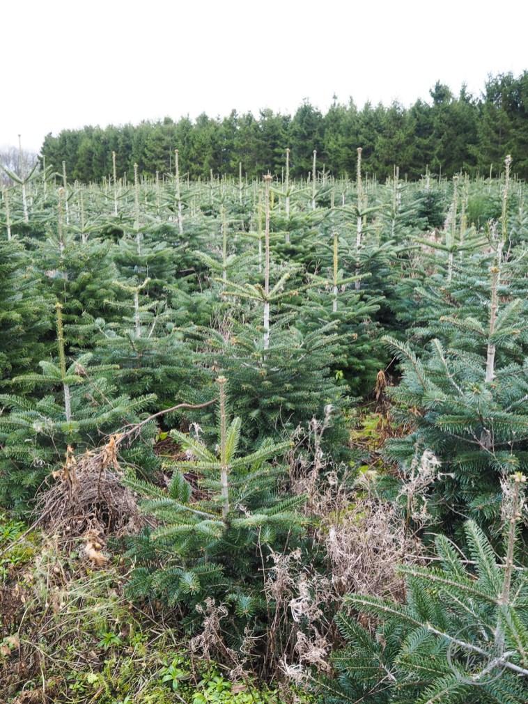 Christmas-Tree-Farm-Joules-Coat-14