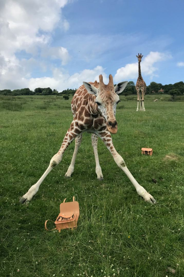 Cambridge Satchel Company, Aspinall Giraffe Collection, The Aspinall Foundation, Cambridge Satchel, Bag, Leather Bag, Giraffe, Port Lympne, Shopping